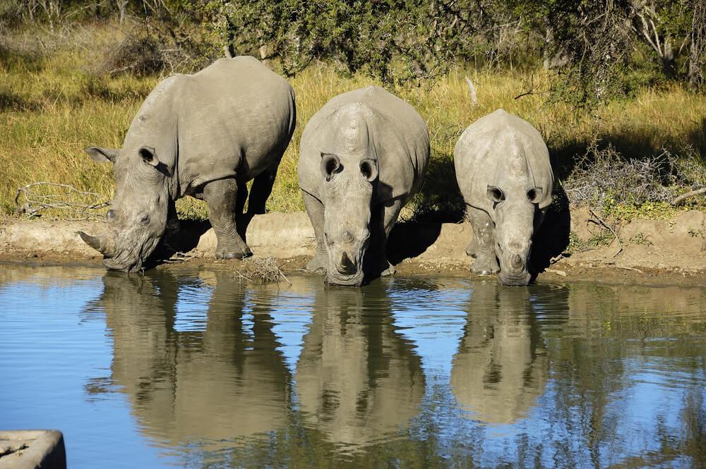Rinocerontes en el Parque Kruger