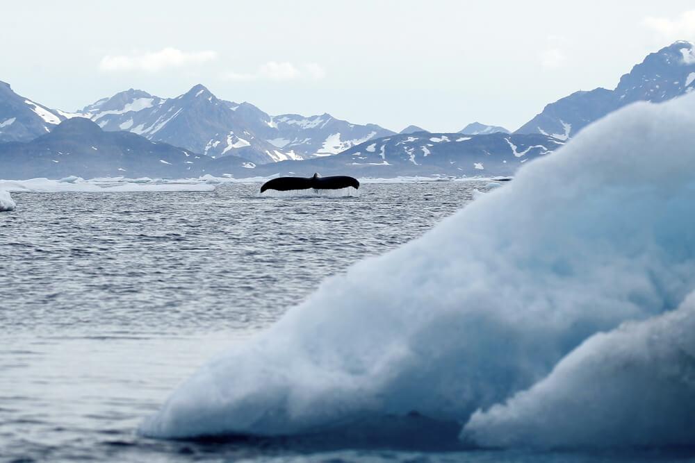 Ballena en Groenlandia