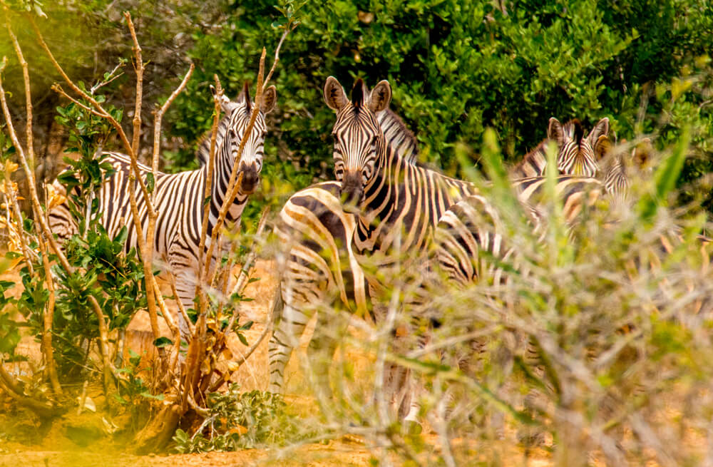 Cebras en el Parque Nacional Kissama