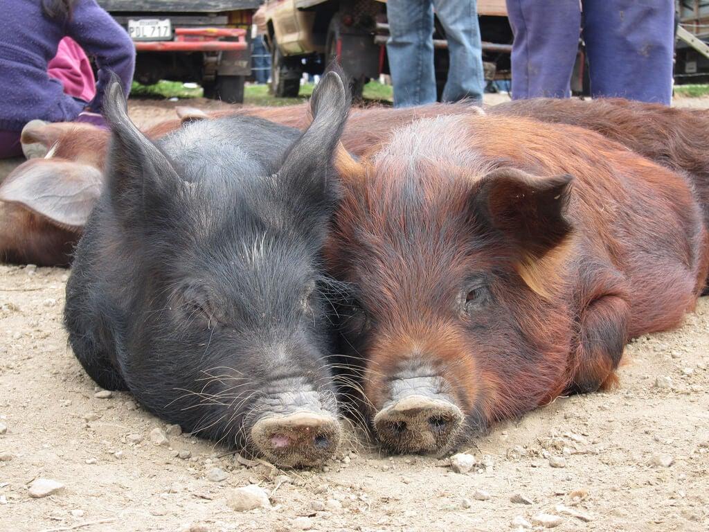 Mercado de animales de Otavalo