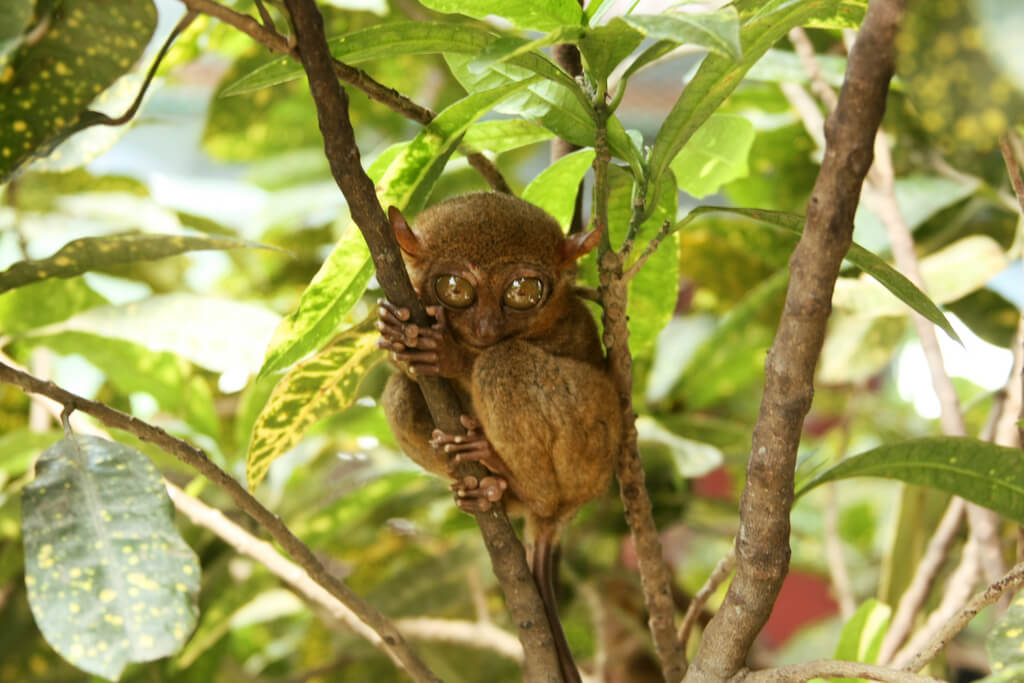 Tarsero en un árbol