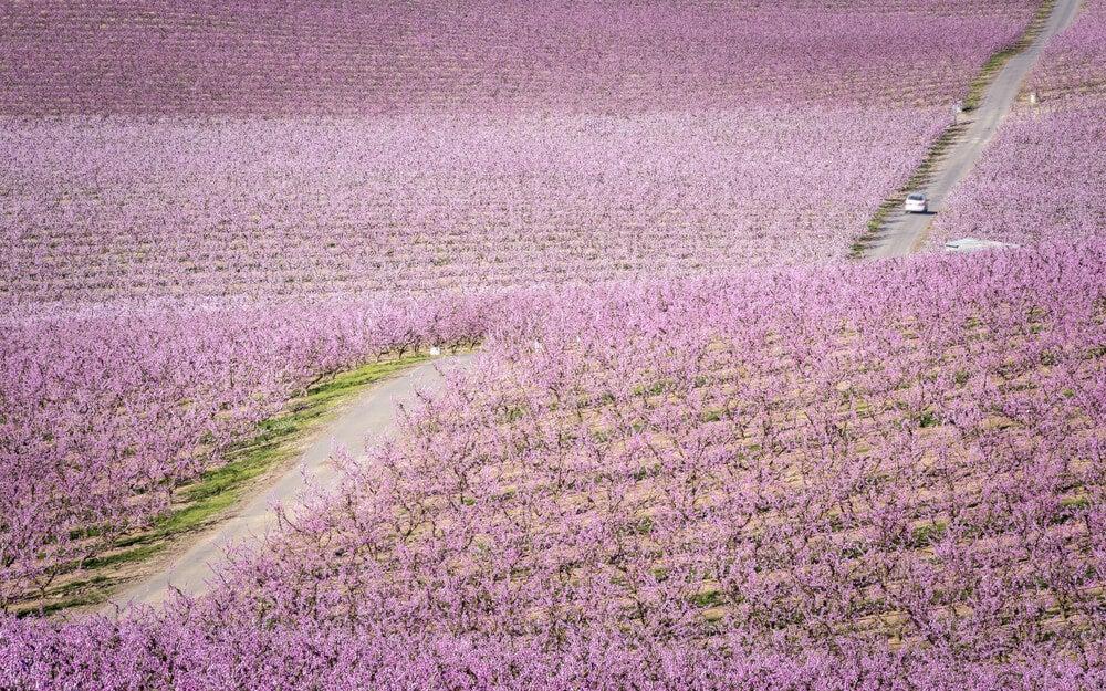 Melocotoneros en flor en Aitona