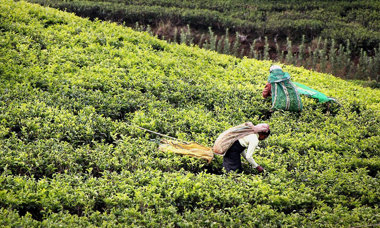 Plantación de té en Sri Lanka