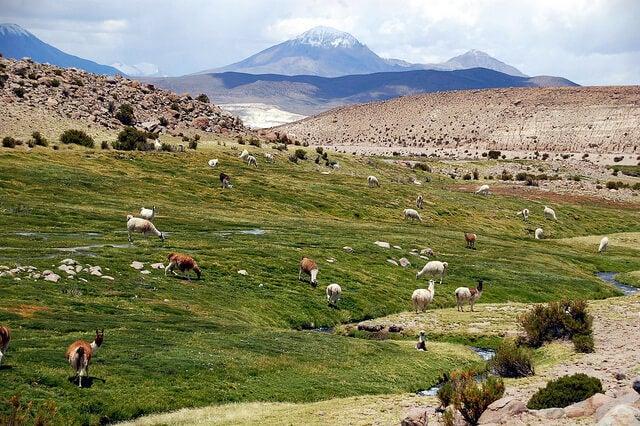 Reserva Nacional las Vicuñas en Chile