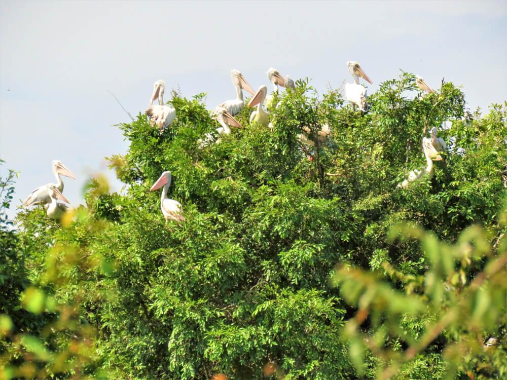 La reserva de aves de Prek Toal en Tonlé Sap, Camboya
