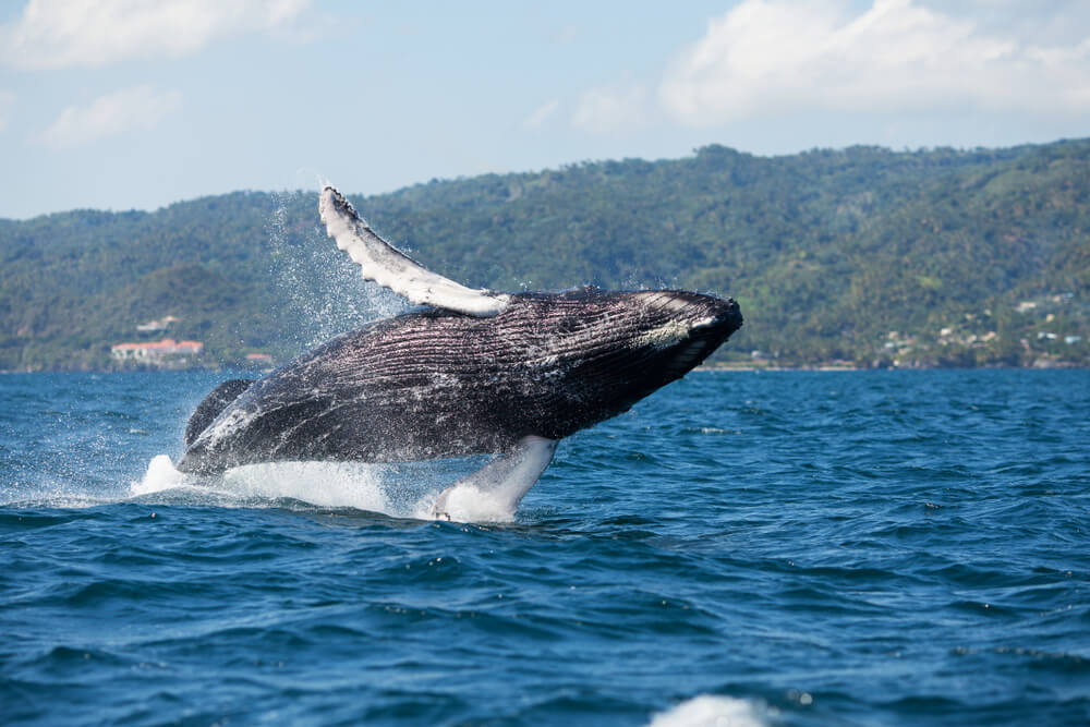 Una excursión para avistar ballenas en la bahía de Samaná