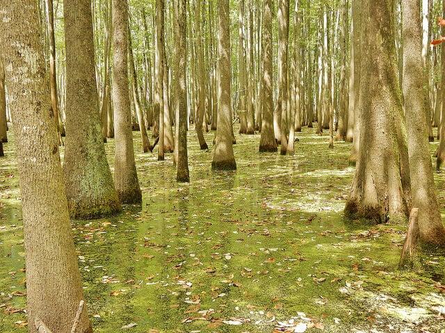 Bosque de tupelo