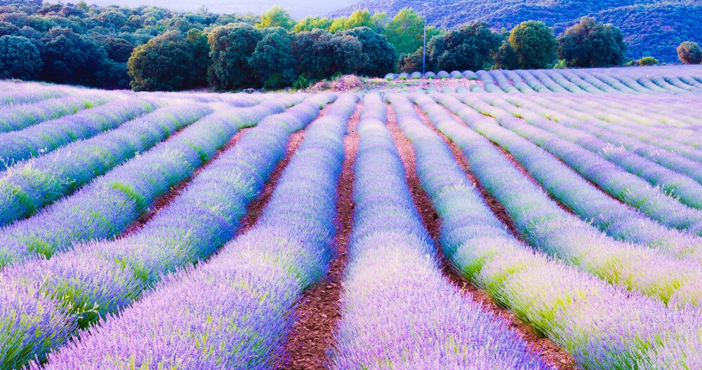 Conoce los campos de lavanda en floración en Brihuega