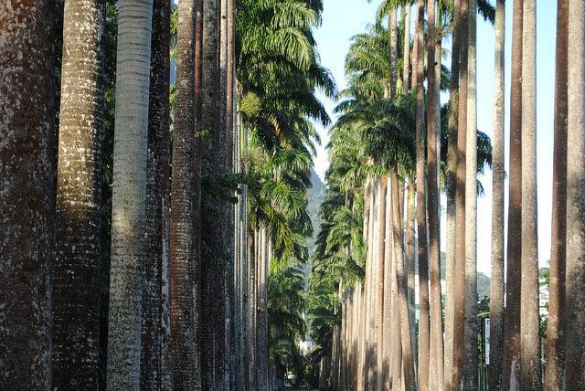 Galería de palmeras imperiales en el botánico de Río de Janeiro
