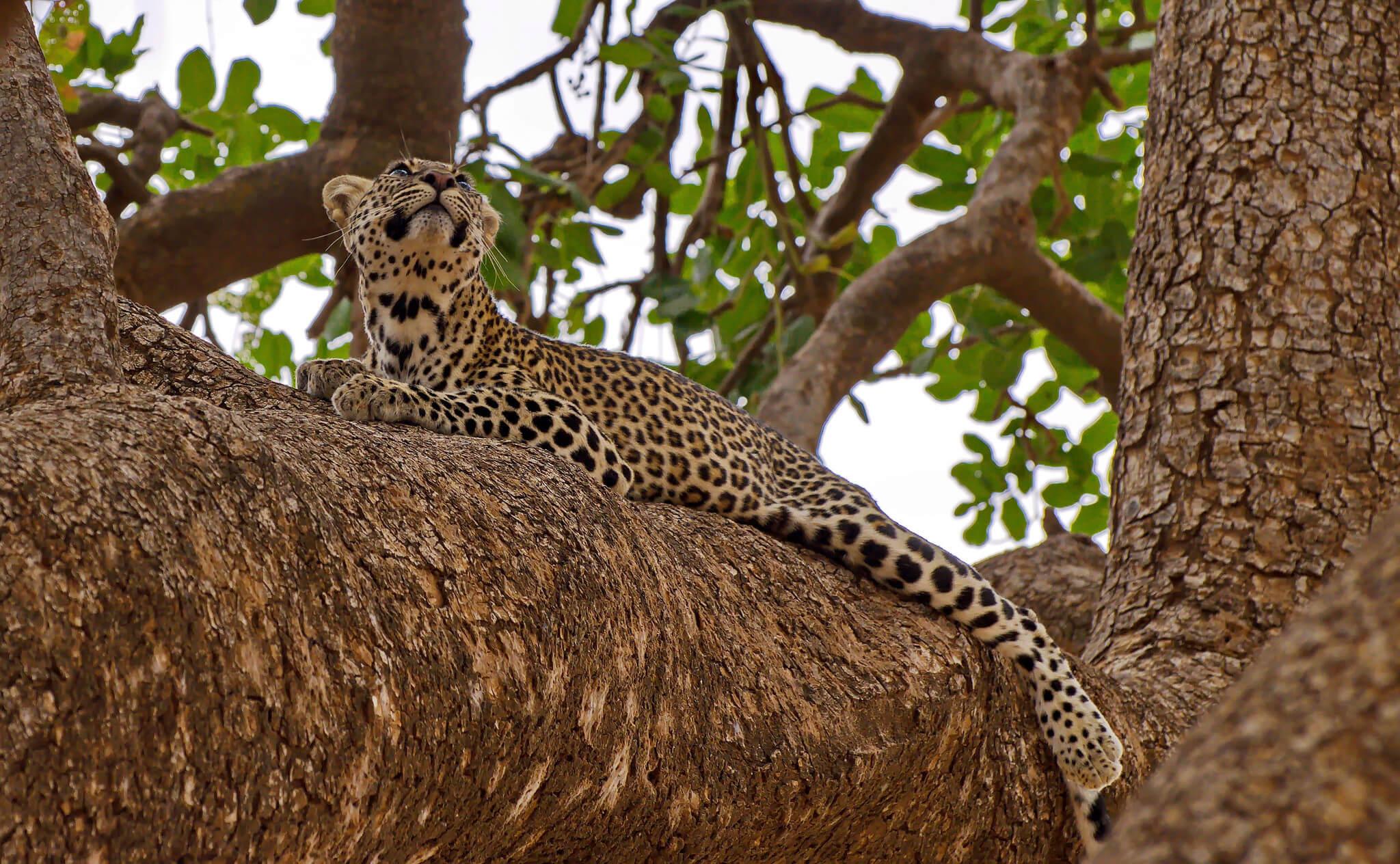Leopardo en Samburu