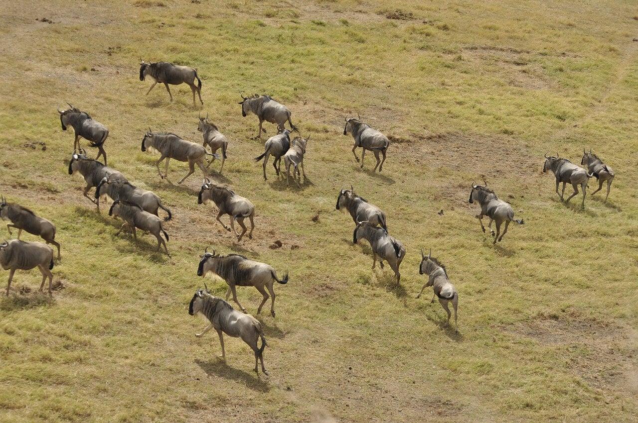 Migración de ñus en Masai Mara Triangle
