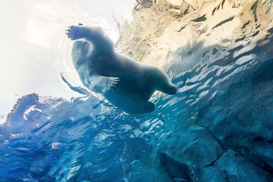 Oso polar nadando en el zoológico de Assiniboine
