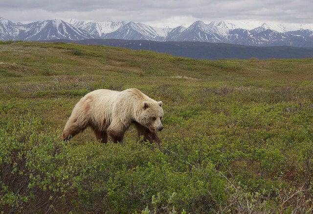 Oso grizzly en el Parque Nacional Denali