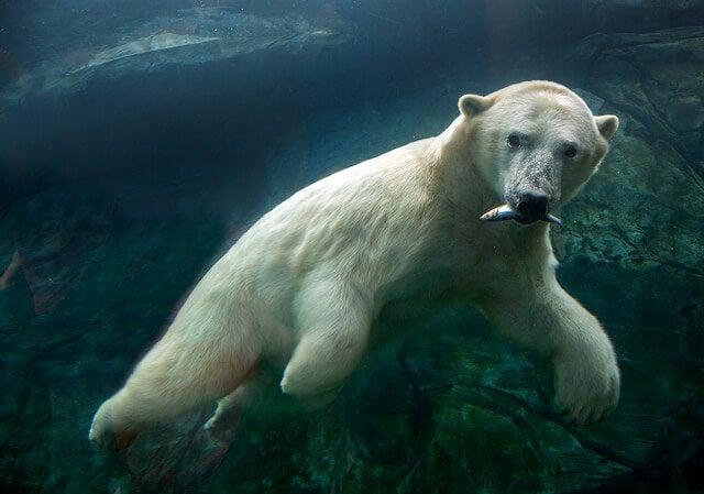 Descubre los osos polares del zoológico de Assiniboine