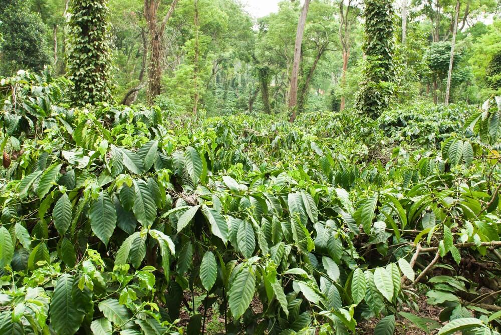 Plantación de café en Coorg
