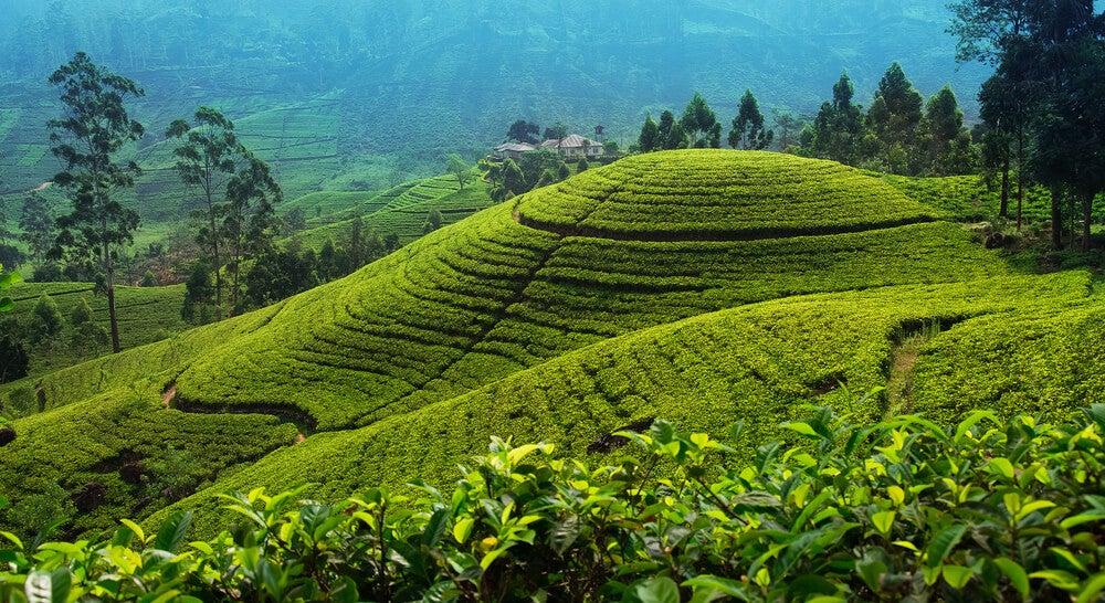 Plantación de té en Nuwara Eliya en Sri Lanka