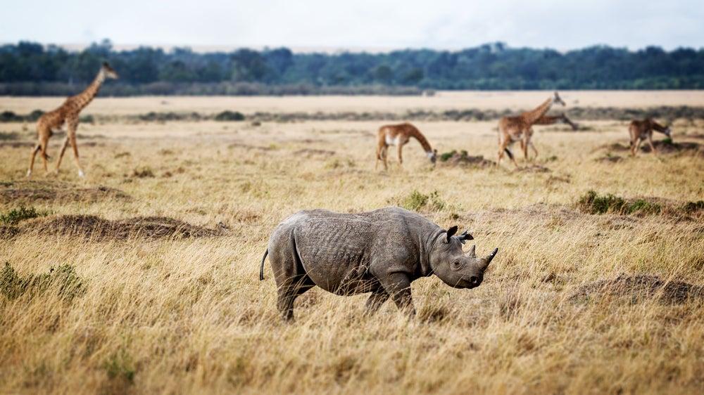 Rinoceronte en Masai Mara Triangle