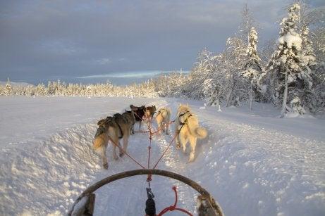 Trineo de perros por el paisaje de la Laponia Noruega