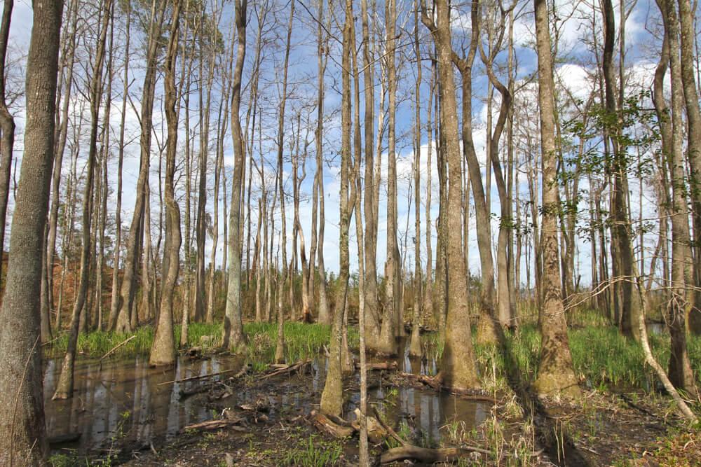 Descubre el asombroso Tupelo Gum Pond en Missouri