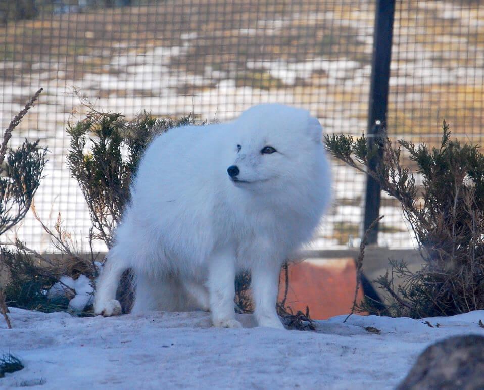 Zorro ártico en el zoológico de Assinoboine