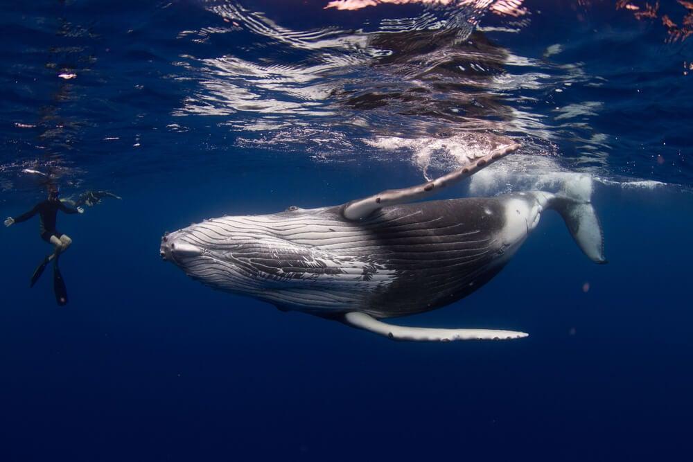 Buceadora con una ballena