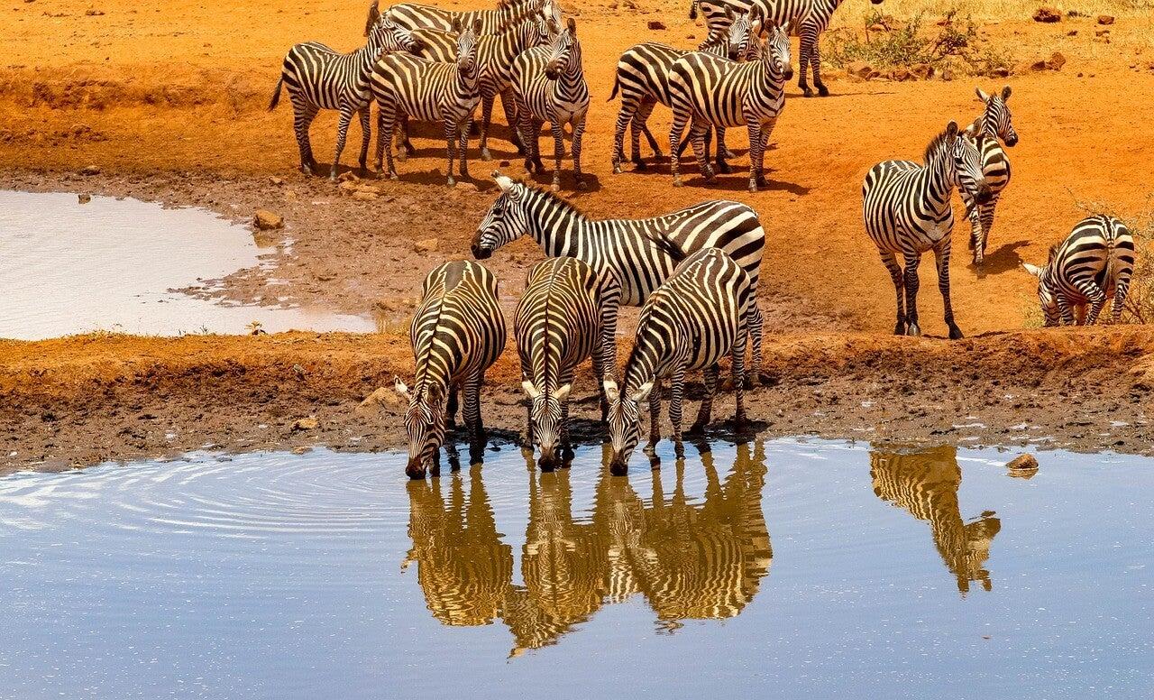 Cebras en el Parque Nacional Amboseli