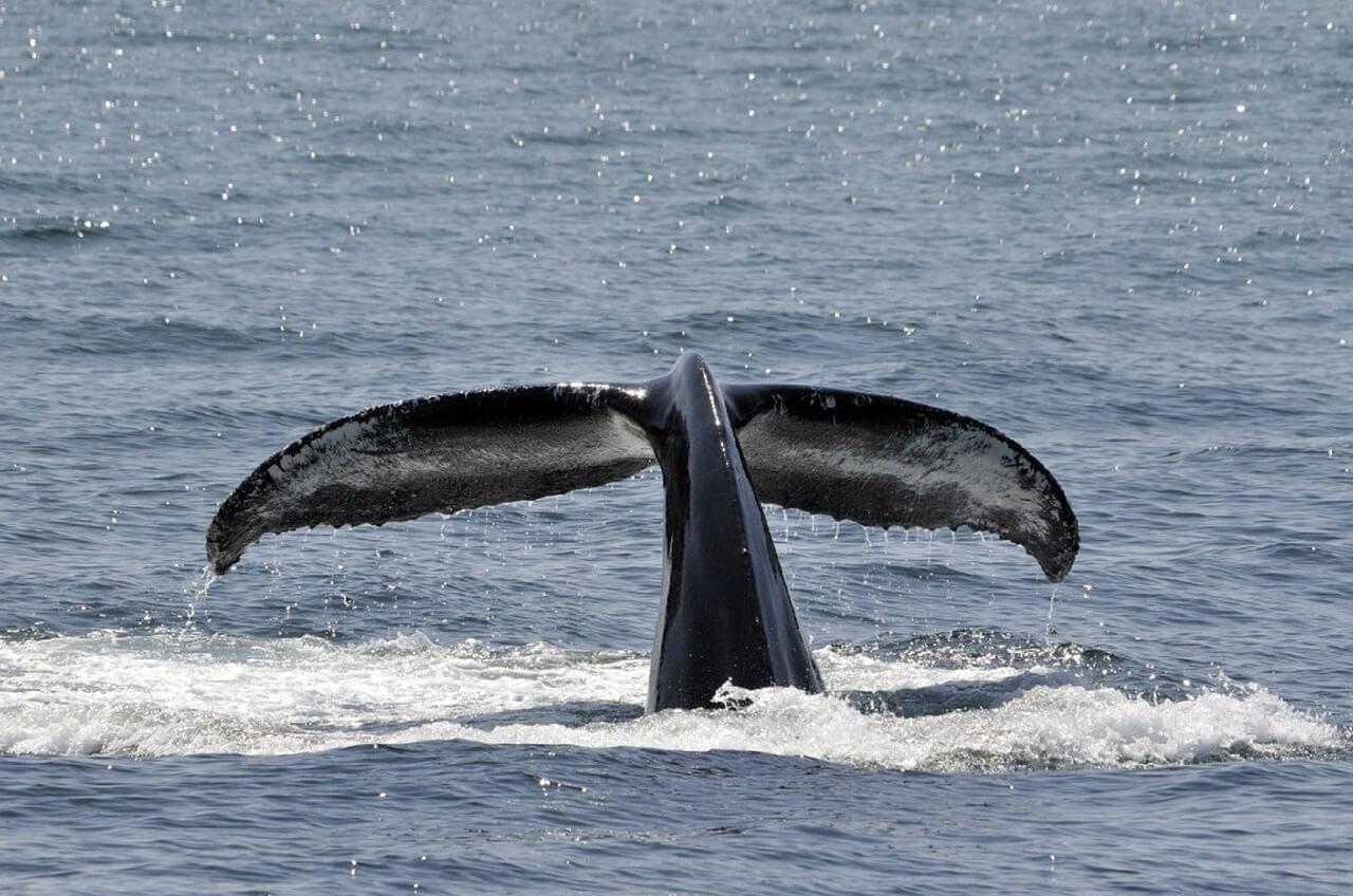 Cola de una ballena jorobada en una excursión apra avistar ballenas en Tahití