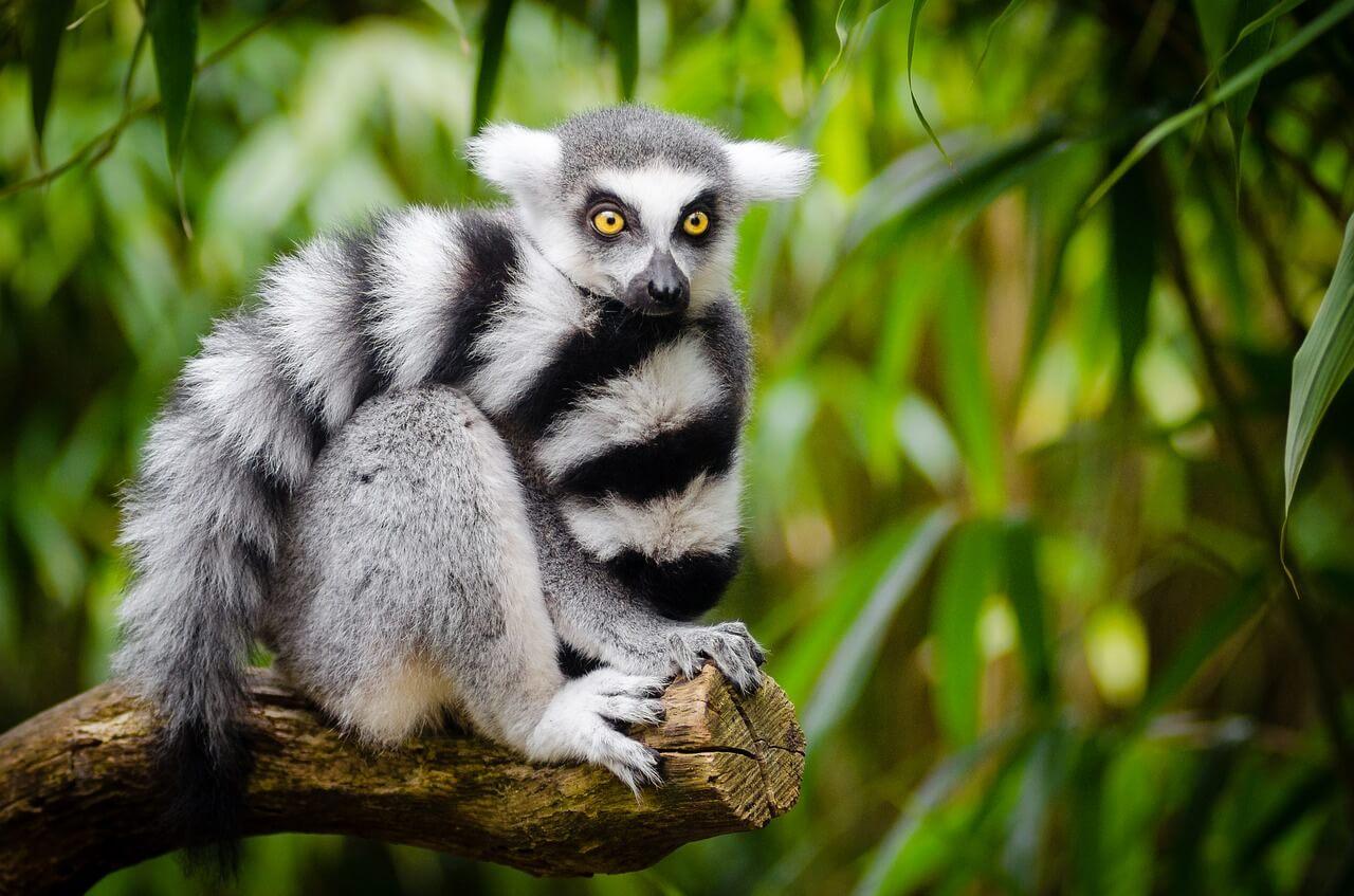 Lémur en la isla malgache