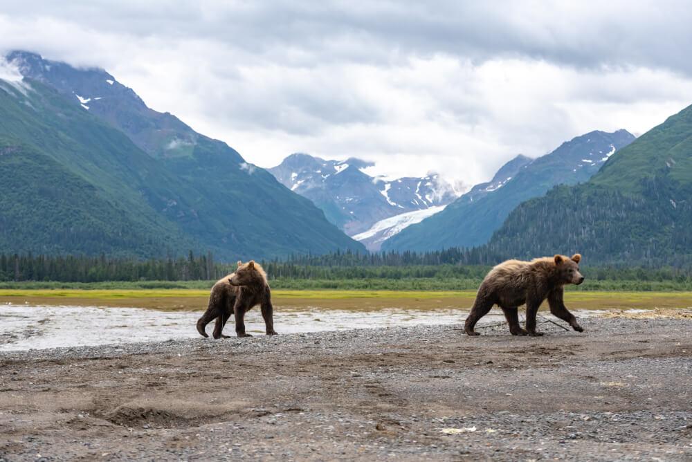Osos pardos en el Parque Nacional Lake Clark