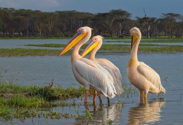 Pelícanos en el lago