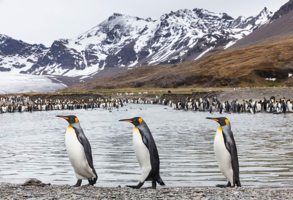 La bahía de Saint Andrews y su gran colonia de pingüinos rey