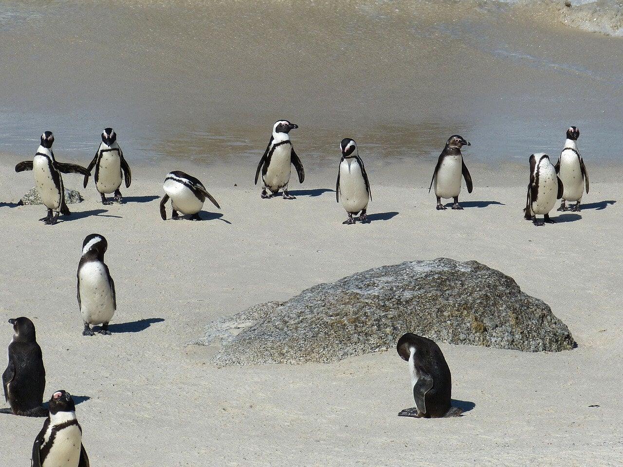 Pingüinos en playa Boulder