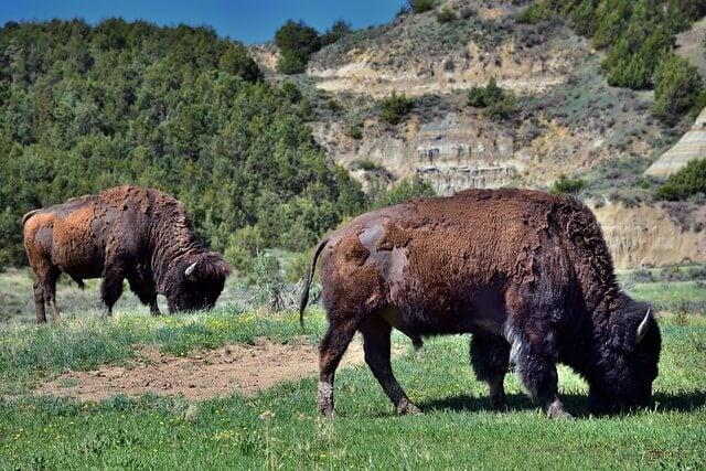 Bisontes en el parque