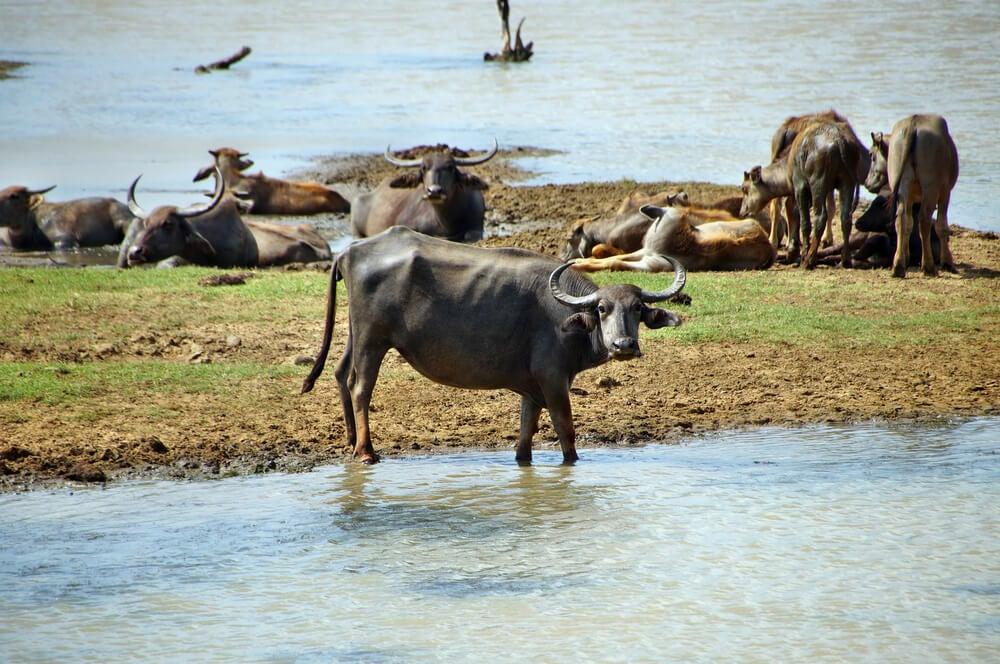Búfalos de agua en el parque