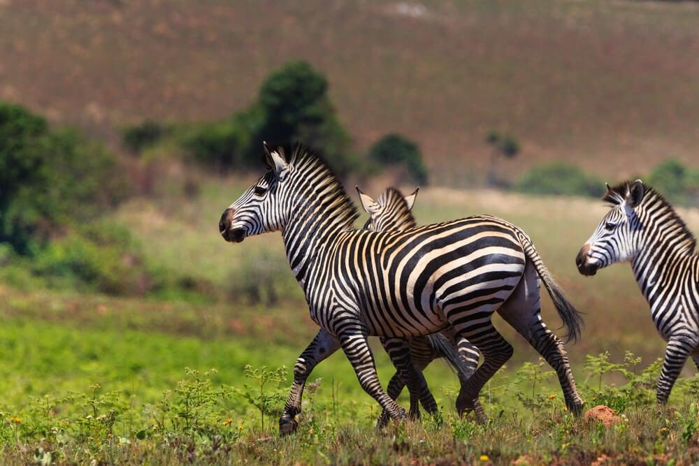 Cebras en el Parque Nacional Niyka