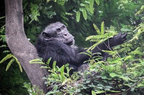 Chimpancé en el Parque Nacional Nyungwe