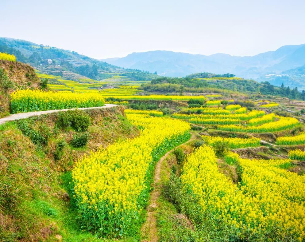 Campos de colza en Huangshan