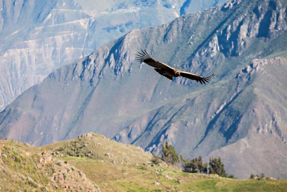 Cóndor sobrevolando el valle del Colca