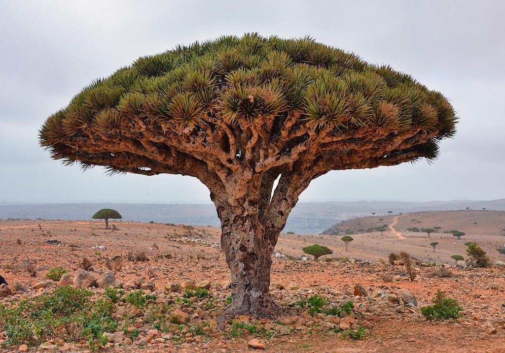 Drago en Socotra