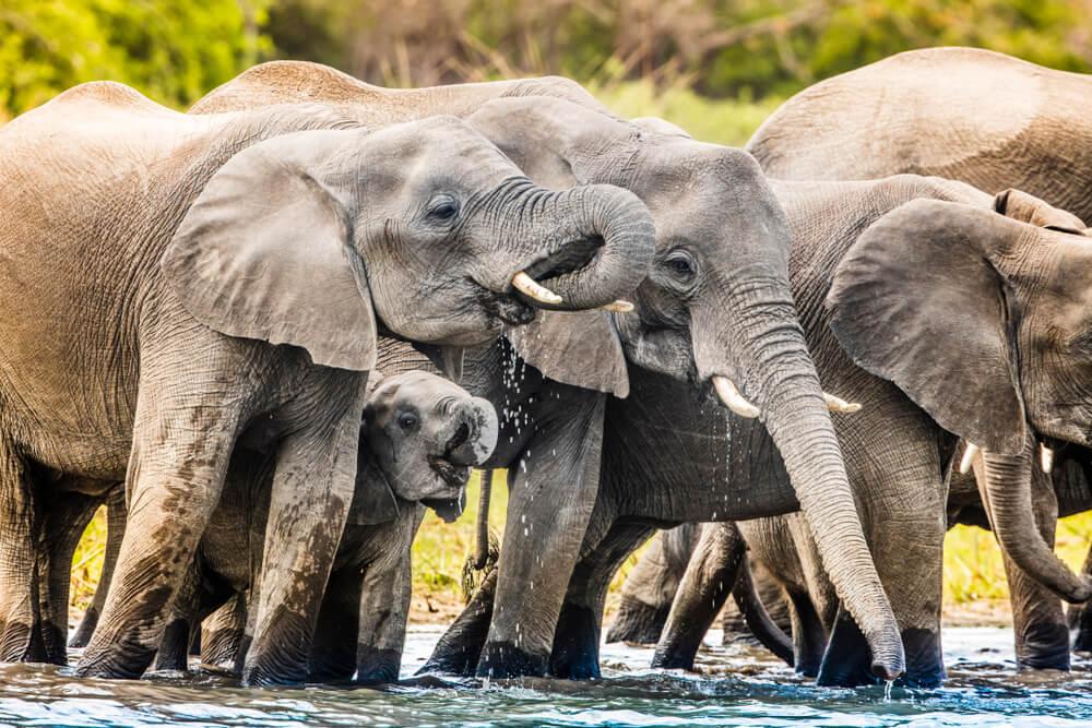 Elefantes en el río Shire