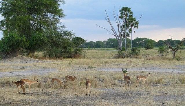 Impalas en el Parque Nacional Liwonde