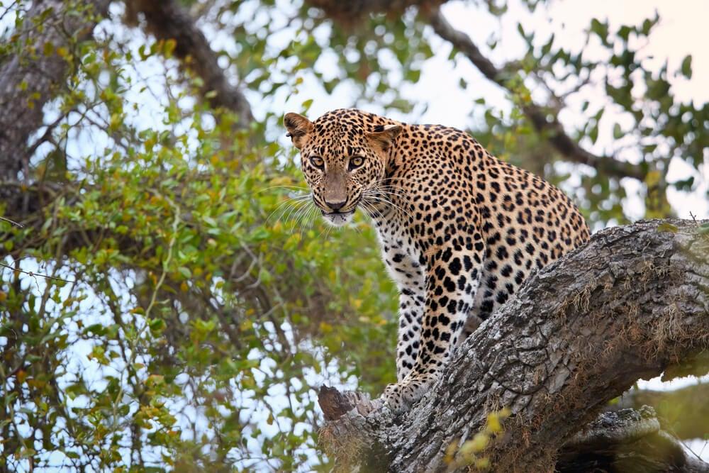 Leopardo en el Parque Nacional Yala