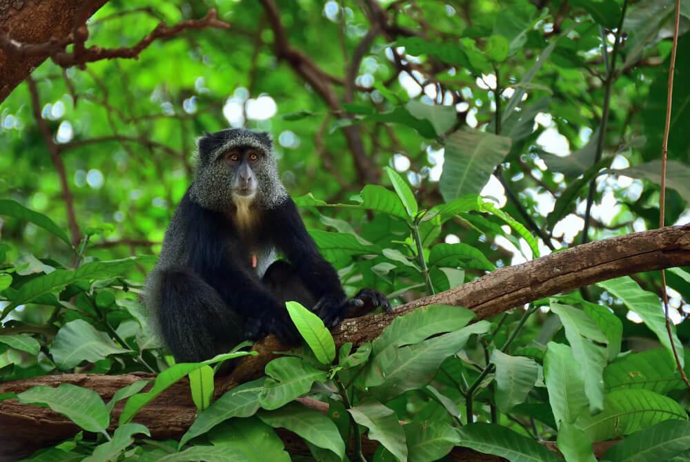 Mono azul en el lago Manyara