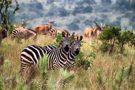 Cebras en el parque Nacional Akagera