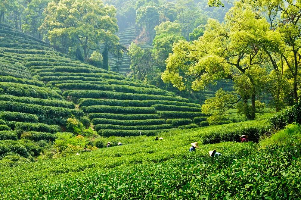 Plantación de té en Hangzhou