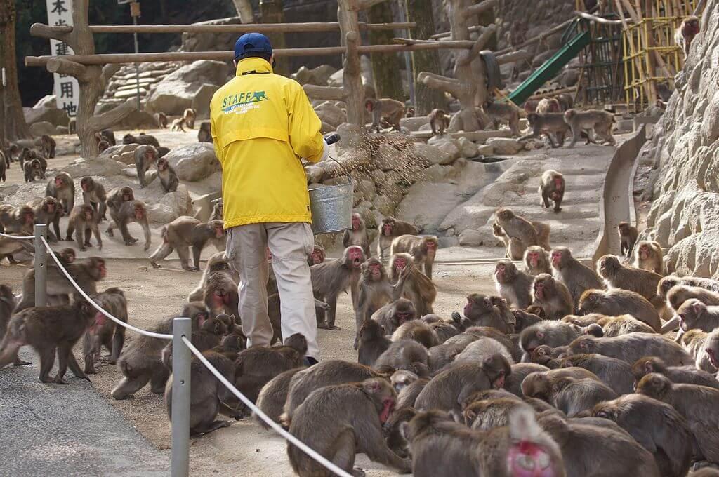 Macacos en la Reserva de Takasiyama