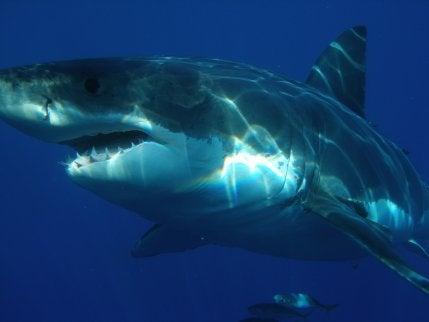 Tiburón blanco en los fondos marinos de México