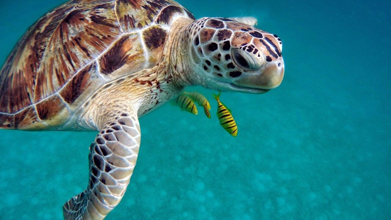 Tortuga en Maldivas