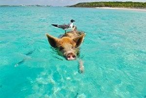 Cerdo en Big Major Cay