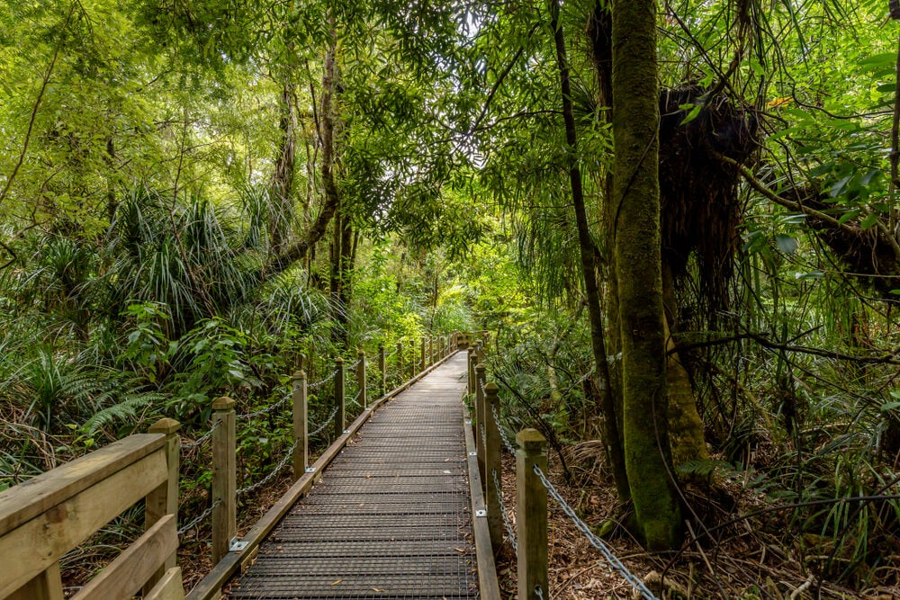 Paseo en un bosque de kauri